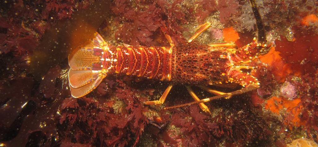 Seismic 'motion in the ocean' harming lobsters: research