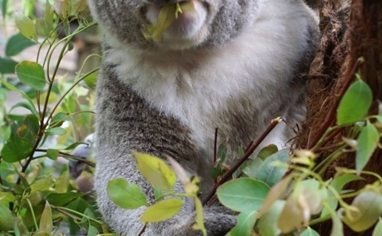 Queensland koala mauls Russian bear