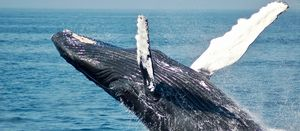 NOPSEMA urges better data capture for whale sightings